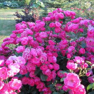 Парковые розы, Шрабы