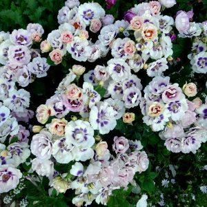 Гибриды розы Персидской